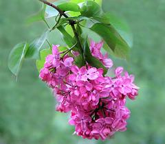 Spring Lilacs