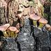 Fungi on a tree stump