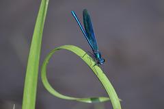 Синяя стрекоза / Blue Dragonfly