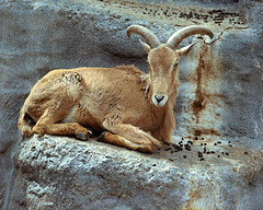 Mountain Goat - London Zoo, May 1980