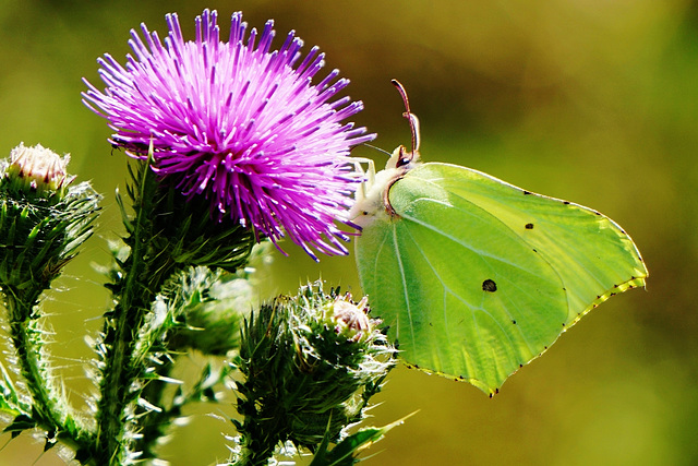 Zitronenfalter (Gonepteryx rhamni) an Kratzdistel - Common brimstone on common thistle