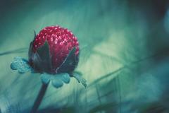 wildberry