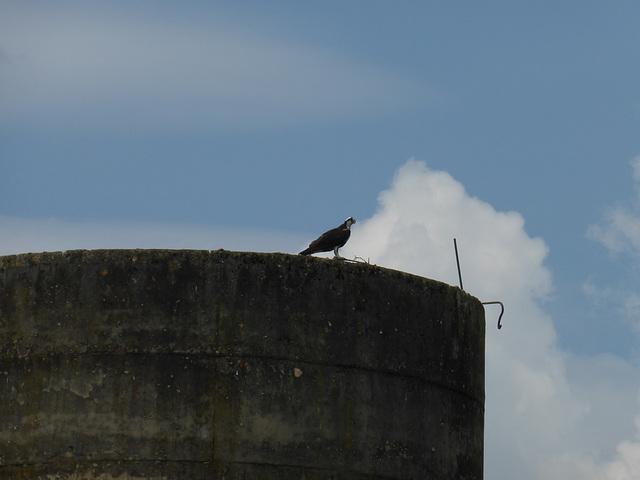 Adler auf Silo