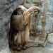 Mountain Goat - London Zoo, May 1980