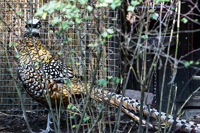 20150911 8818VRAw [D~HF] Königsfasan (Syrmaticus reevesii), Tierpark, Herford