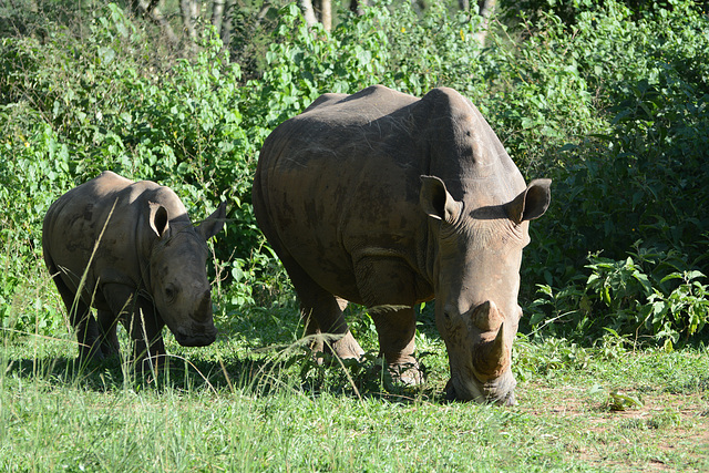 Uganda, Ziwa Rhino Sanctuary, White Rhino Female and Her Cub