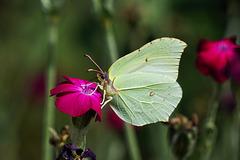 Im Moment zu sehen: Zitronenfalter (Gonepteryx rhamni) - To be seen at the moment : common brimstone (Gonepteryx rhamni) - PiP