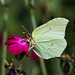 Im Moment zu sehen: Zitronenfalter (Gonepteryx rhamni) - To be seen at the moment : common brimstone (Gonepteryx rhamni) - PiP