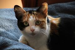 Avec son regard qui en dit long sur son passé et toujours aussi peureuse , une petite chatte adoptée par des ailurophiles . .