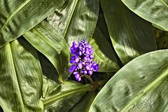 Blue Ginger – Botanical Garden, Montréal, Québec