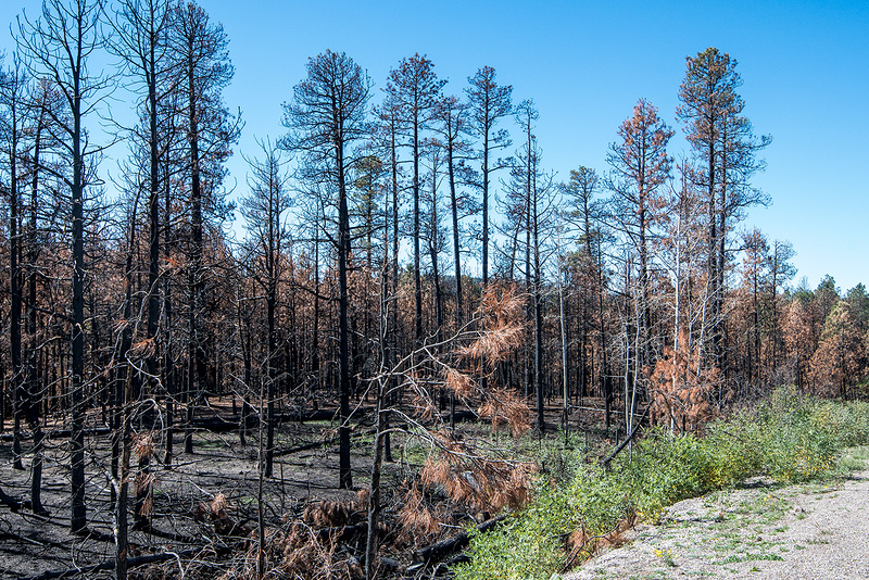 Fire damaged trees along the road