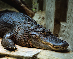 Crocodile - London Zoo, May 1980