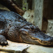 Crocodile - London Zoo, May 1980