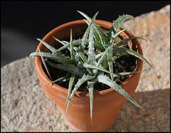 Hechtia argentea  (4)