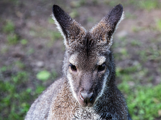 20150911 8823VRAw [D~HF] Bennettkänguru (Macropus rufogriseus), Tierpark, Herford