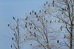 Double-crested Cormorant Flock