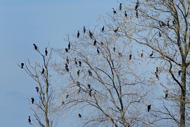Double-crested Cormorant Flock
