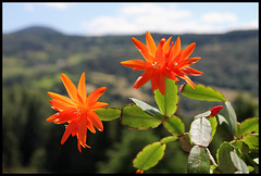 Rhipsalidopsis orange (1)