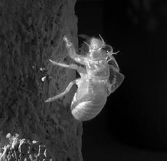 Cicada Molt in Infrared (0998)