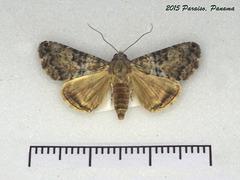 P013R Coenipeta bibitrix