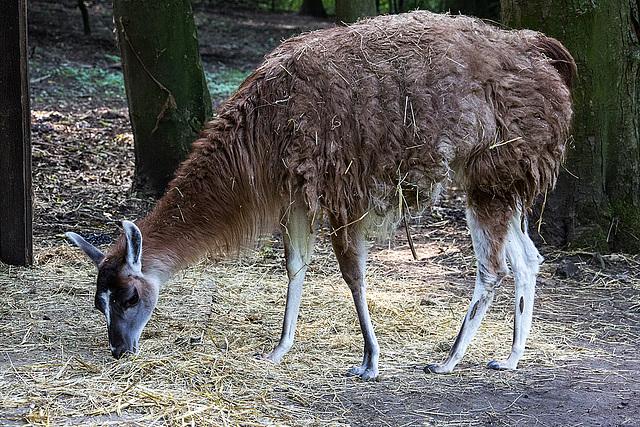 20150911 8825VRAw [D~HF] Guanako (Lama guanicoe), Tierpark, Herford
