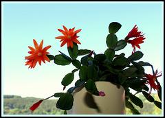 Rhipsalidopsis orange (2)