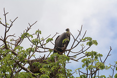 Tarangire, The African White-Backed Vulture