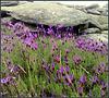 granite and Spanish lavender
