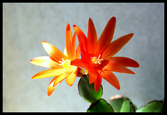 Rhipsalidopsis orange (3)