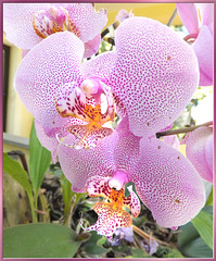 Spotted Phalaenopsis Orchid.  ©UdoSm