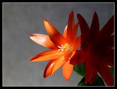 Rhipsalidopsis orange (4)
