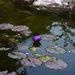 Israel, Eilat, Purple Lotus in the Botanical Garden