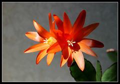 Rhipsalidopsis orange (5)