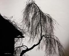 Birke - birch