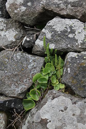 umbilicus rupestris (1)