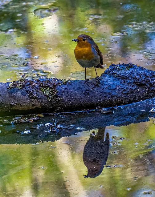 Robin.2jpg