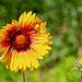 Kokardenblume - Cockade Flower (PiP)
