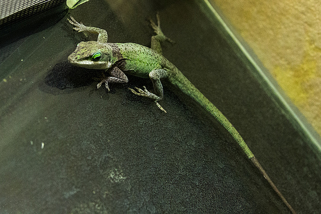 20150911 8832VRAw [D~HF] Rotkehlanolis (Anolis carolinesis), Tierpark, Herford
