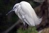 Snowy Egret   123 copy