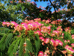 L'arbre de soie / The silk tree [ON EXPLORE]