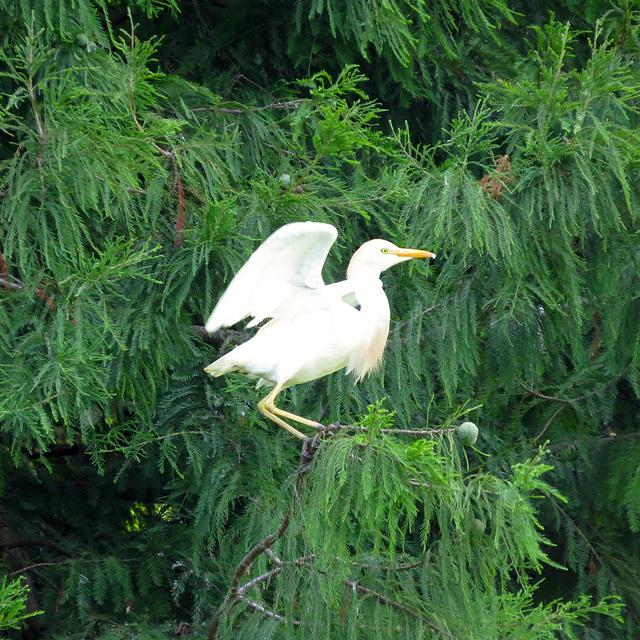 Cattle egret departing