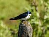 Tree Swallow male