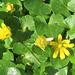 Ficaire fausse renoncule = Ranunculus ficaria = Ficaria verna = Ficaria ranunculoides, Renonculacées (Rhône, France)