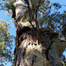 River Red Gum: found along watercourses