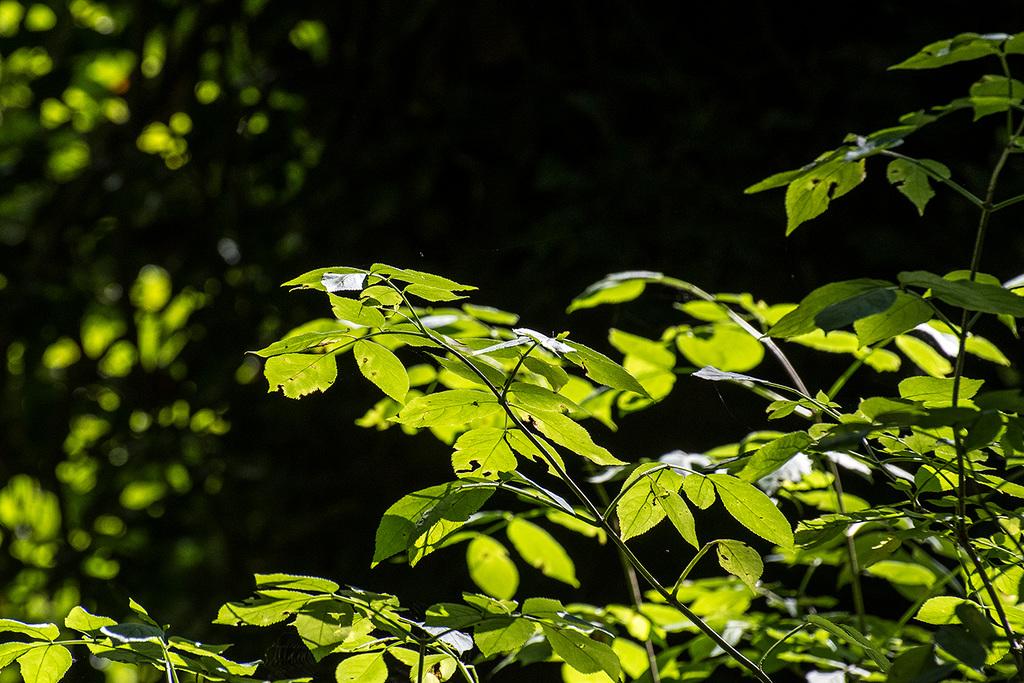 Sunlit leaves at Dibbinsdale nature reserve