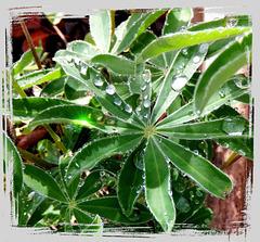 Lupinenblätter im Regen... ©UdoSm