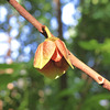 Pawpaw flower