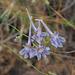 Consolida regalis, Ranunculaceae