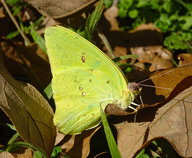 Cloudless Sulphur  (Phoebis sennae)~Todays Surprise !