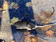 Begegnung im Urlaub an einem See (Ratte?)